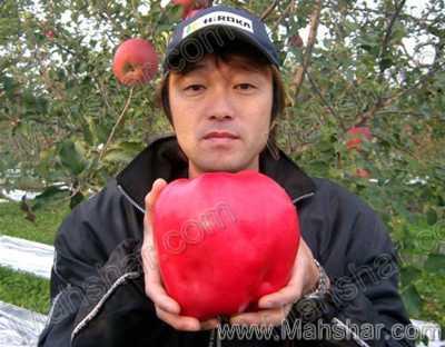 سنگین وزن ترین سیب رکوردهای جهانی گینس GUINNESS ترين ها - خبرهاي عجيب و غريب يا بزرگترين و كوچكترين ها
