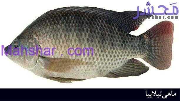 tilapia fish ماهی تیلاپیا 1 از ماهی تیلاپیا دوری کنید