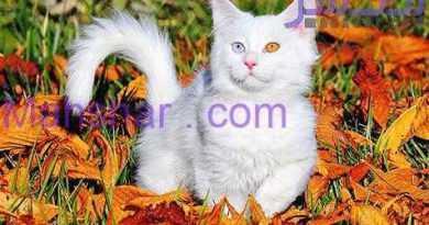 گربه های وان 15 خصوصیات گربه های وان