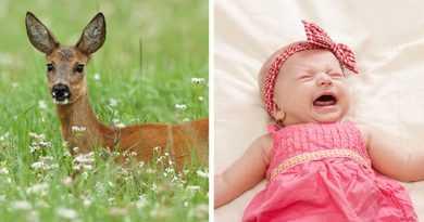 اگر گوزن ماده صدای گریه نوزاد انسان را بشنود، به کمک او میشتابد