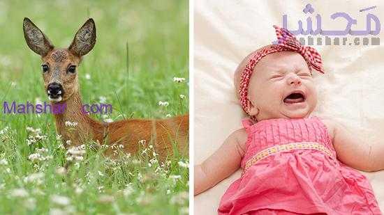 گوزن ماده صدای گریه نوزاد انسان را بشنود، به کمک او میشتابد 9 اگر گوزن ماده صدای گریه نوزاد انسان را بشنود، به کمک او میشتابد