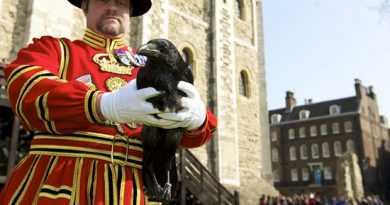 از کلاغ در برج لندن 13 مراقبت از کلاغ در برج لندن