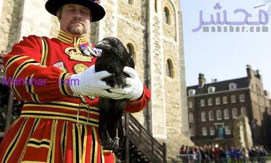 از کلاغ در برج لندن 1 مراقبت از کلاغ در برج لندن