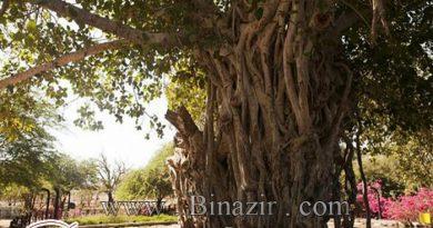 درخت انجیر معابد در کیش
