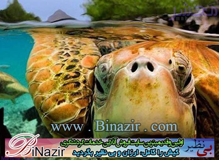 لاک پشت های دریایی در کیش